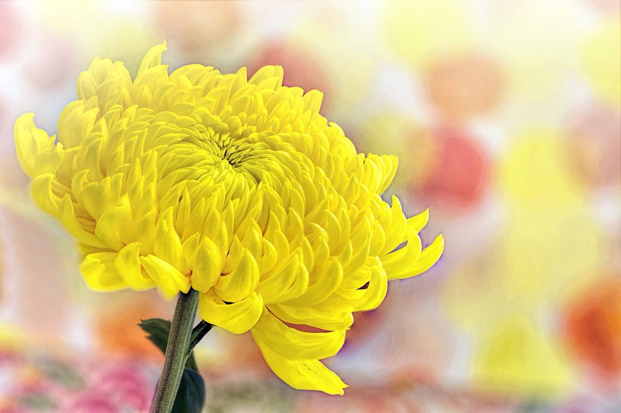 菊の花 なのです
